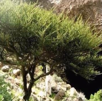 Мирт арабский экстракт или Гугл дерево.