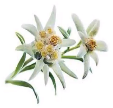 Экстракт цветка Эдельвейса